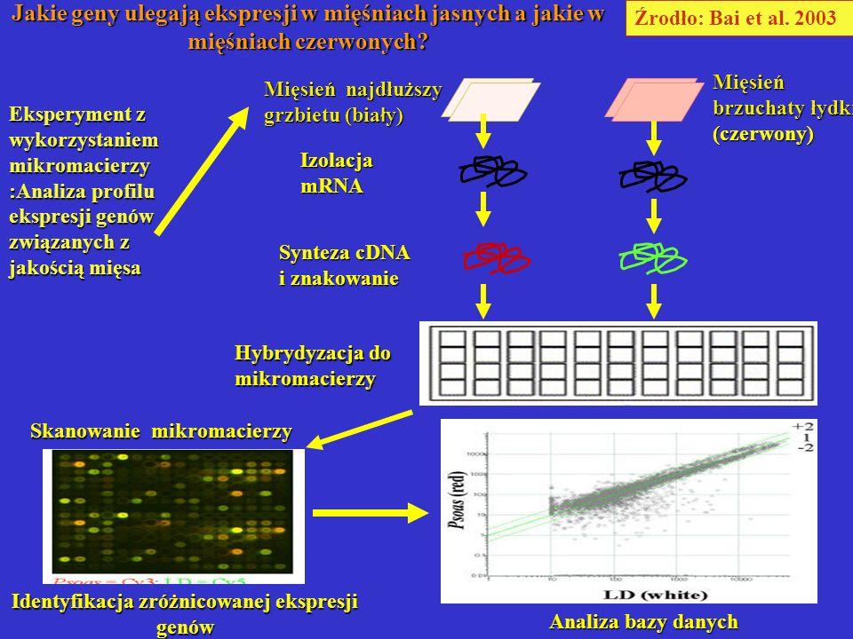 Mięsień najdłuższy grzbietu (bia ł y) Mięsień brzuchaty łydki (czerwony) Źrodło: Bai et al. 2003 Eksperyment z wykorzystaniem mikromacierzy :Analiza p