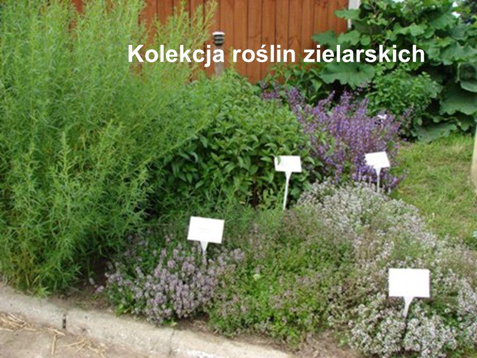 Kolekcja roślin zielarskich