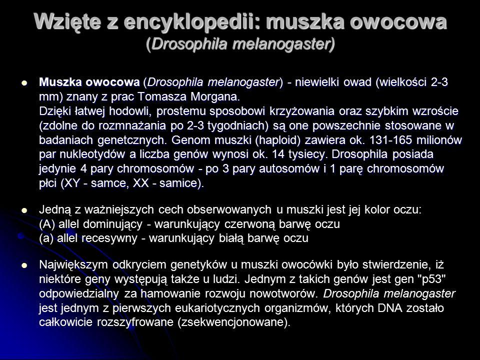 Wzięte z encyklopedii: muszka owocowa (Drosophila melanogaster) Muszka owocowa (Drosophila melanogaster) - niewielki owad (wielkości 2-3 mm) znany z prac Tomasza Morgana.