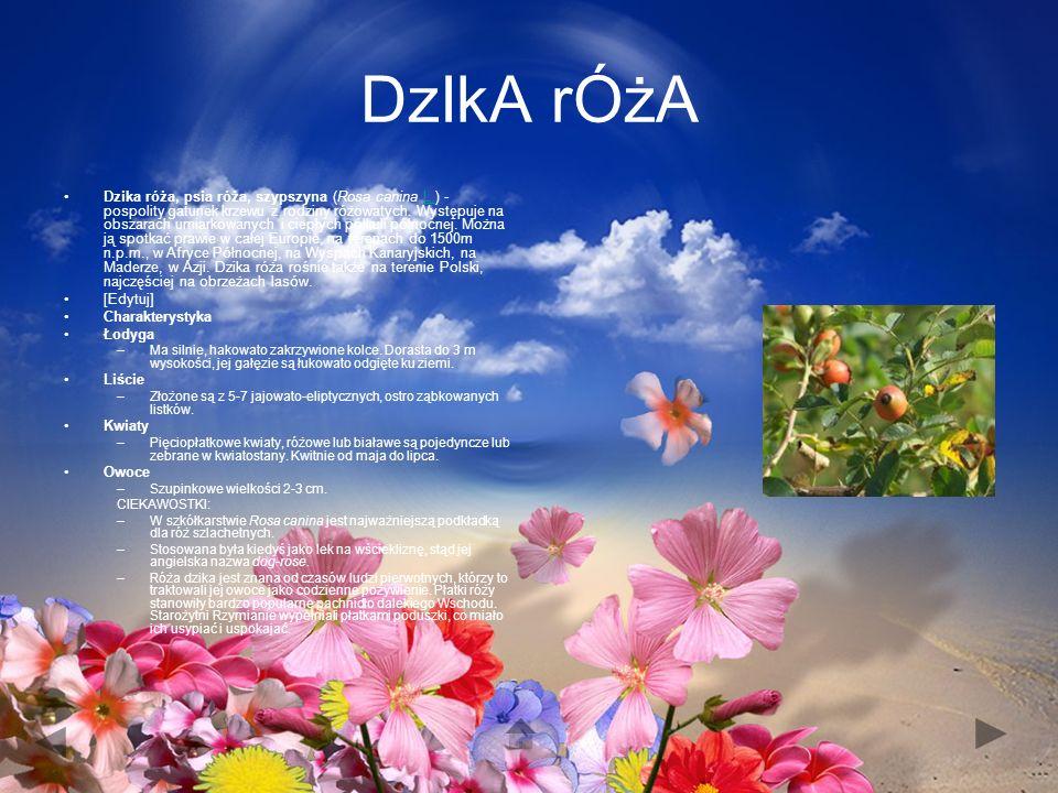 DzIkA rÓżA Dzika róża, psia róża, szypszyna (Rosa canina L.) - pospolity gatunek krzewu z rodziny różowatych.
