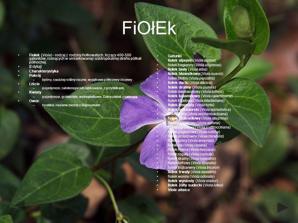 FiOłEk Fiołek (Viola) - rodzaj z rodziny fiołkowatych, liczący 400-500 gatunków, rosnących w umiarkowanej i subtropikalnej strefie półkuli północnej.