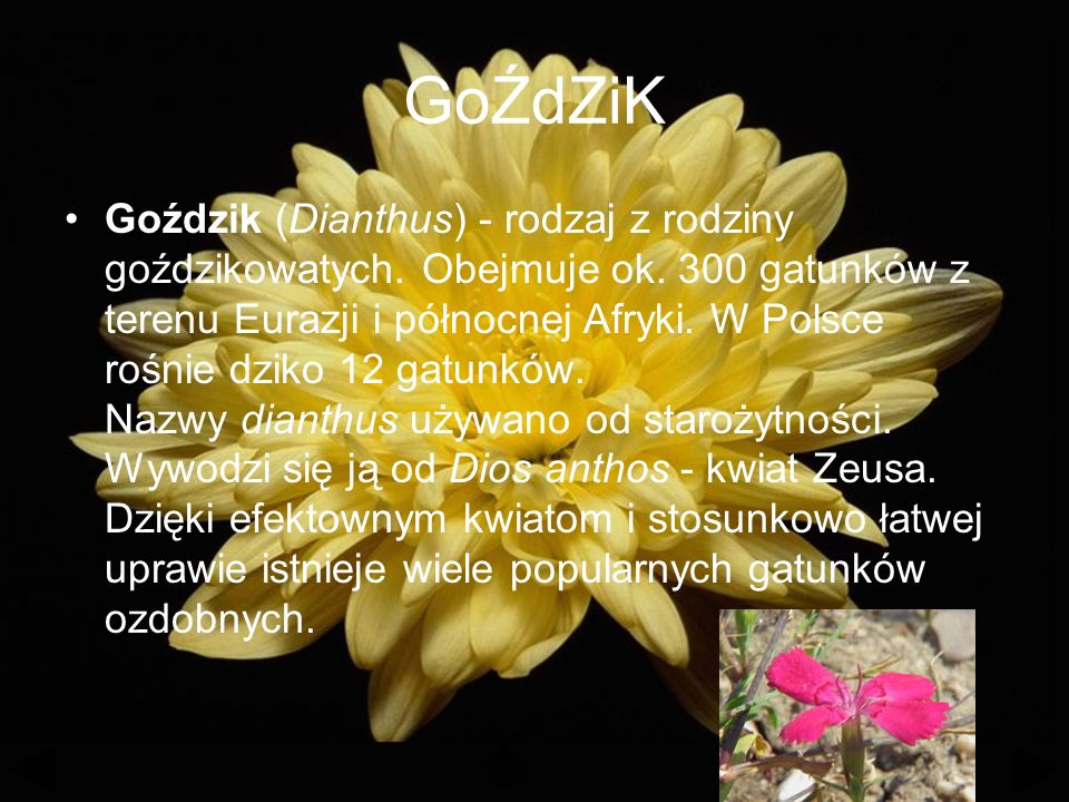 GoŹdZiK Goździk (Dianthus) - rodzaj z rodziny goździkowatych.