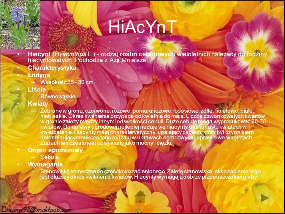 HiAcYnT Hiacynt (Hyacinthus L.) - rodzaj roślin cebulowych wieloletnich należący do rodziny hiacyntowatych.