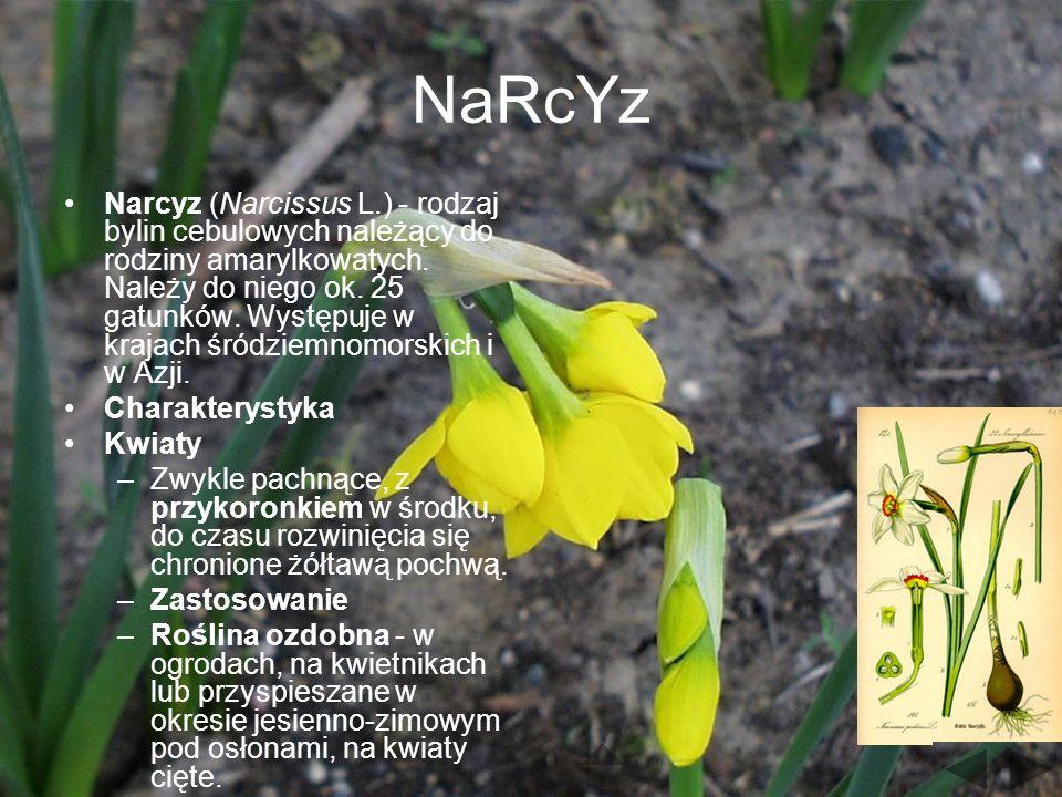 NaRcYz Narcyz (Narcissus L.) - rodzaj bylin cebulowych należący do rodziny amarylkowatych.