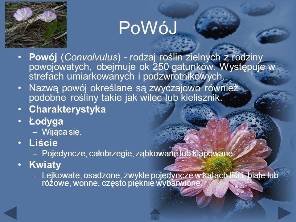 PoWóJ Powój (Convolvulus) - rodzaj roślin zielnych z rodziny powojowatych, obejmuje ok 250 gatunków.