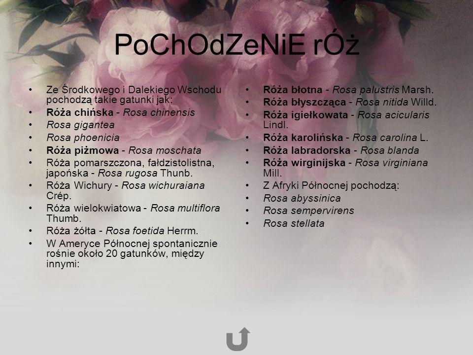 PoChOdZeNiE rÓż Ze Środkowego i Dalekiego Wschodu pochodzą takie gatunki jak: Róża chińska - Rosa chinensis Rosa gigantea Rosa phoenicia Róża piżmowa - Rosa moschata Róża pomarszczona, fałdzistolistna, japońska - Rosa rugosa Thunb.