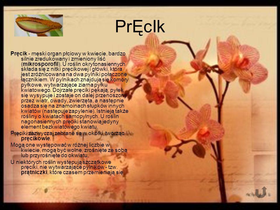 PrĘcIk Pręcik - męski organ płciowy w kwiecie, bardzo silnie zredukowany i zmieniony liść (mikrosporofil).