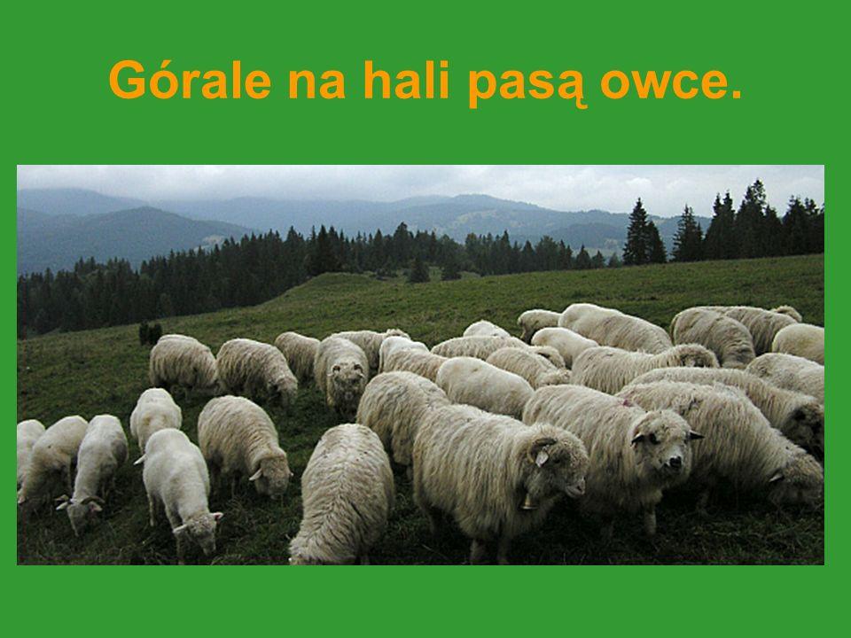 Górale na hali pasą owce.