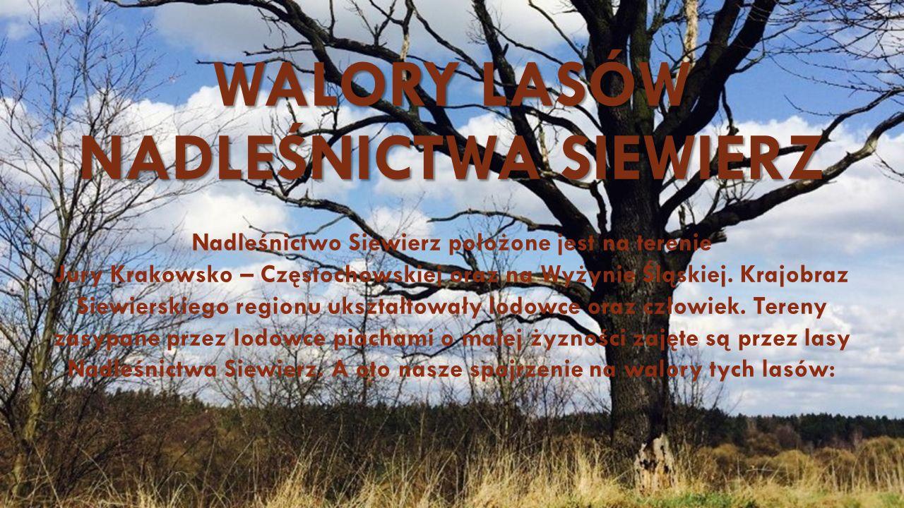 WALORY LASÓW NADLEŚNICTWA SIEWIERZ Nadleśnictwo Siewierz położone jest na terenie Jury Krakowsko – Częstochowskiej oraz na Wyżynie Śląskiej.