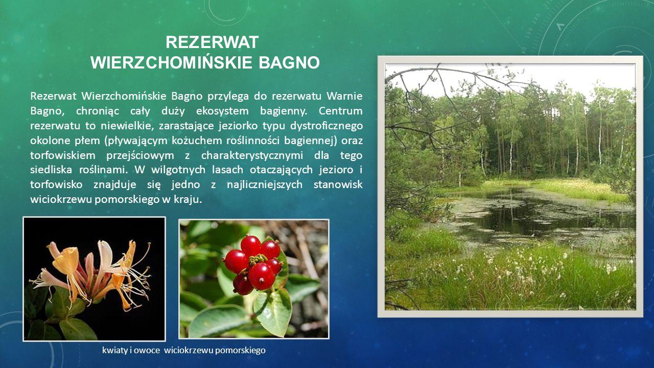 REZERWAT WIERZCHOMIŃSKIE BAGNO Rezerwat Wierzchomińskie Bagno przylega do rezerwatu Warnie Bagno, chroniąc cały duży ekosystem bagienny. Centrum rezer