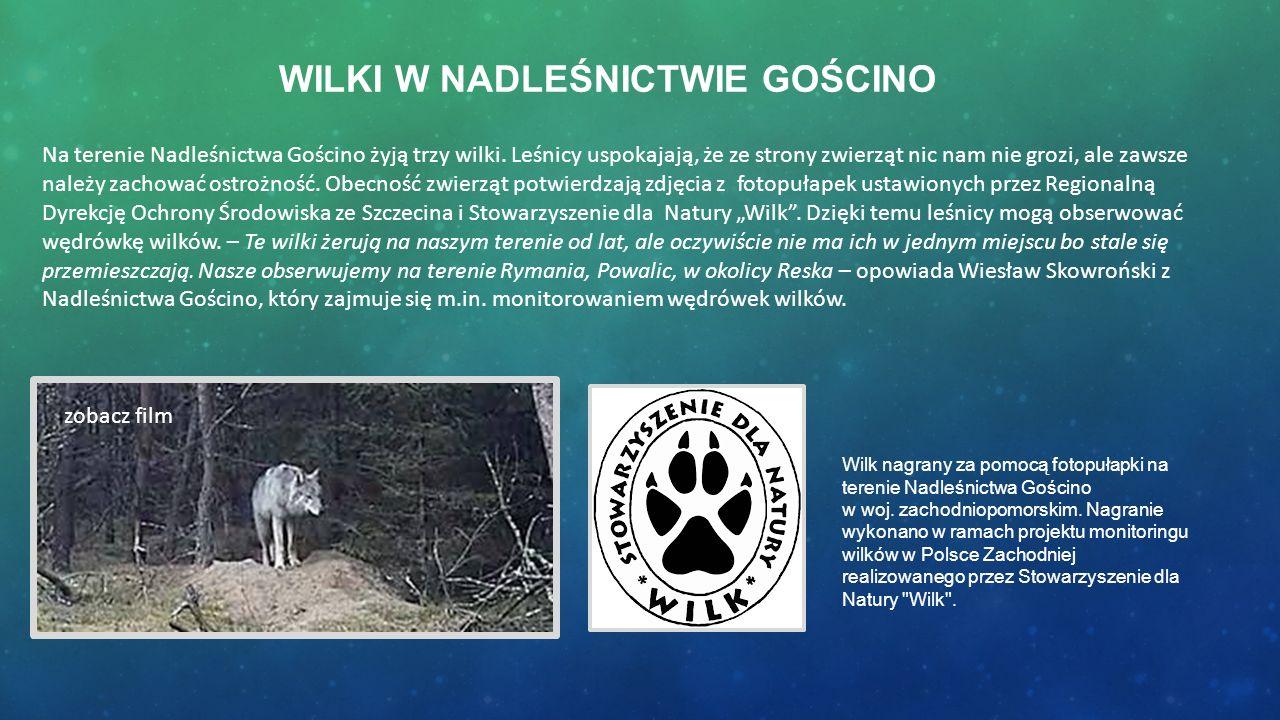 WILKI W NADLEŚNICTWIE GOŚCINO Na terenie Nadleśnictwa Gościno żyją trzy wilki. Leśnicy uspokajają, że ze strony zwierząt nic nam nie grozi, ale zawsze