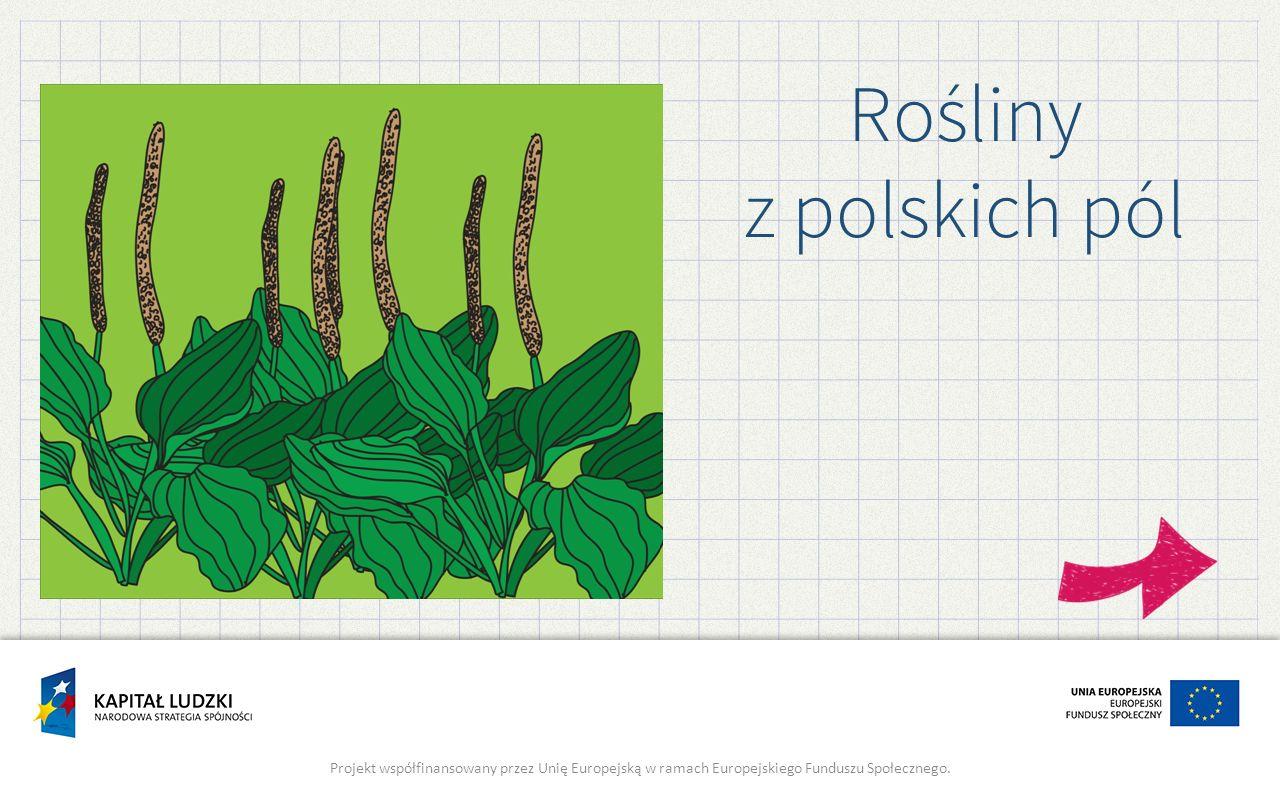 Rośliny z polskich pól Projekt współfinansowany przez Unię Europejską w ramach Europejskiego Funduszu Społecznego.