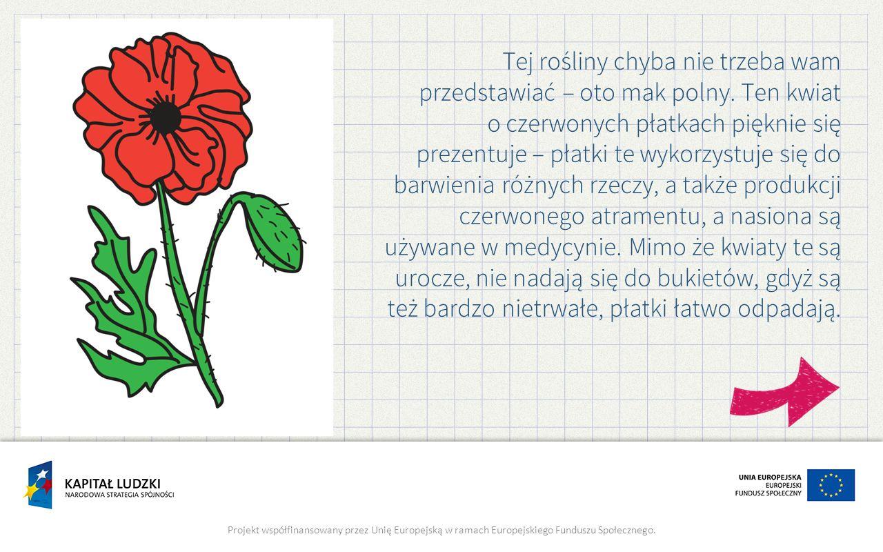 Tej rośliny chyba nie trzeba wam przedstawiać – oto mak polny. Ten kwiat o czerwonych płatkach pięknie się prezentuje – płatki te wykorzystuje się do