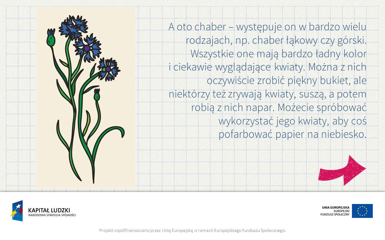 A oto chaber – występuje on w bardzo wielu rodzajach, np. chaber łąkowy czy górski. Wszystkie one mają bardzo ładny kolor i ciekawie wyglądające kwiat