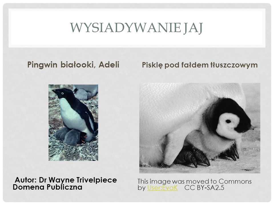 WYSIADYWANIE JAJ Pingwin białooki, Adeli Pisklę pod fałdem tłuszczowym Autor: Dr Wayne Trivelpiece Domena Publiczna This image was moved to Commons by User:EvaK CC BY-SA2.5User:EvaK