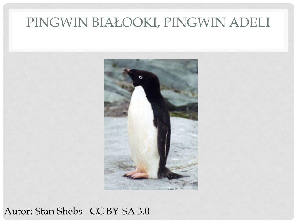 PINGWIN BIAŁOOKI, PINGWIN ADELI Autor: Stan Shebs CC BY-SA 3.0