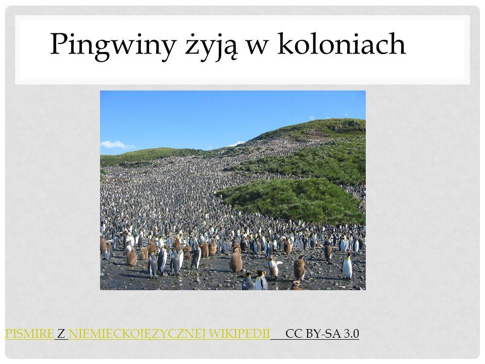 PISMIREPISMIRE Z NIEMIECKOJĘZYCZNEJ WIKIPEDII CC BY-SA 3.0NIEMIECKOJĘZYCZNEJ WIKIPEDII Pingwiny żyją w koloniach