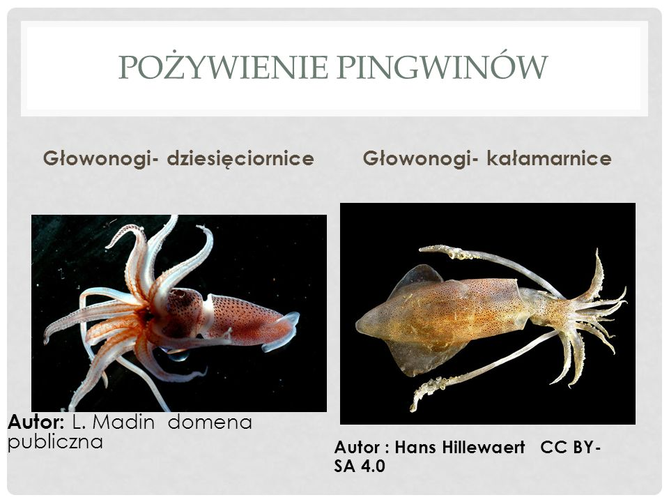 POŻYWIENIE PINGWINÓW Głowonogi- dziesięciorniceGłowonogi- kałamarnice Autor: L.