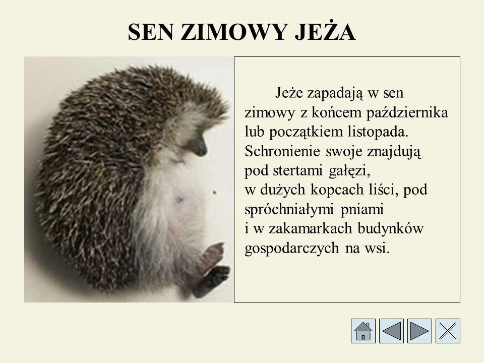 JEŻ - WYSTĘPOWANIE Jeż jest zwierzęciem dzikim, występującym w urozmaiconym terenie. Dobrze czuje się w skupiskach zagęszczonych krzewów, na łąkach z