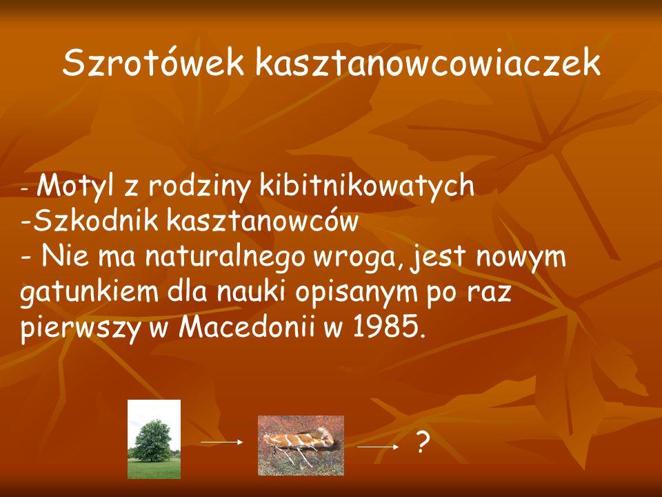 - Motyl z rodziny kibitnikowatych -Szkodnik kasztanowców - Nie ma naturalnego wroga, jest nowym gatunkiem dla nauki opisanym po raz pierwszy w Macedonii w 1985.