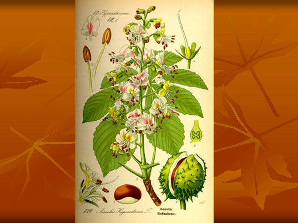 Szrotówek niszczy: - - kasztanowce białe zwane popularnie kasztanami Żeruje na: - - kasztanowcu czerwonym - - kasztanowcu żółtym Rozwija się na: - - jaworze, - - klonie pospolitym (pełny rozwój) Obserwuje się przypadki składania jaj na lipach.