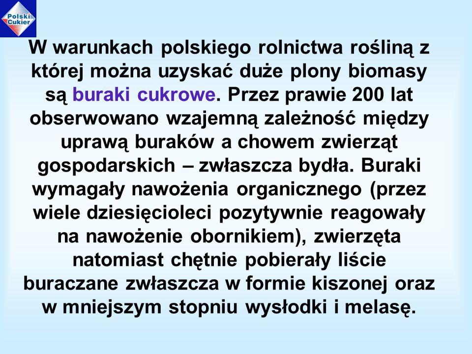 W warunkach polskiego rolnictwa rośliną z której można uzyskać duże plony biomasy są buraki cukrowe.