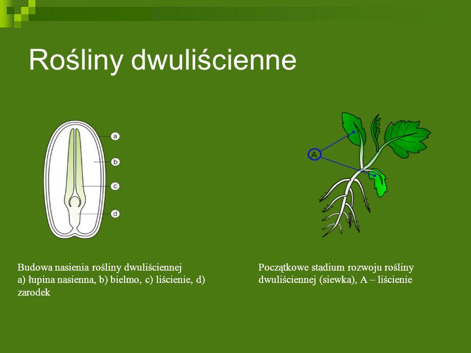 Rośliny dwuliścienne Początkowe stadium rozwoju rośliny dwuliściennej (siewka), A – liścienie Budowa nasienia rośliny dwuliściennej a) łupina nasienna, b) bielmo, c) liścienie, d) zarodek