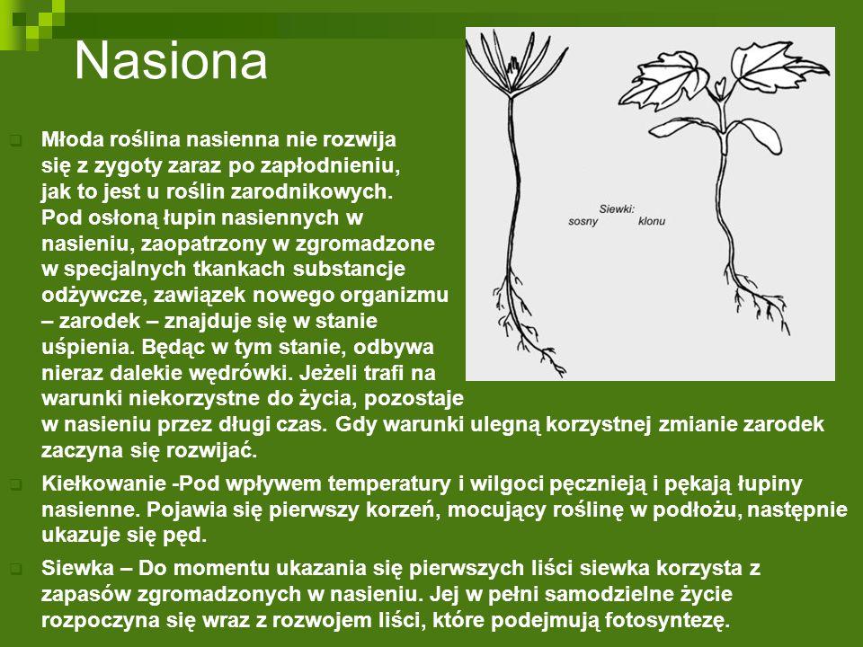 Nasiona  Młoda roślina nasienna nie rozwija się z zygoty zaraz po zapłodnieniu, jak to jest u roślin zarodnikowych. Pod osłoną łupin nasiennych w nas