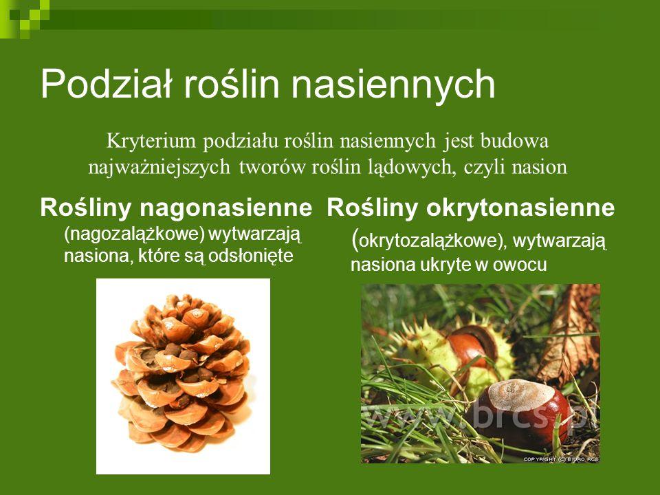 Podział roślin nasiennych Rośliny nagonasienne (nagozalążkowe) wytwarzają nasiona, które są odsłonięte Rośliny okrytonasienne ( okrytozalążkowe), wytwarzają nasiona ukryte w owocu Kryterium podziału roślin nasiennych jest budowa najważniejszych tworów roślin lądowych, czyli nasion