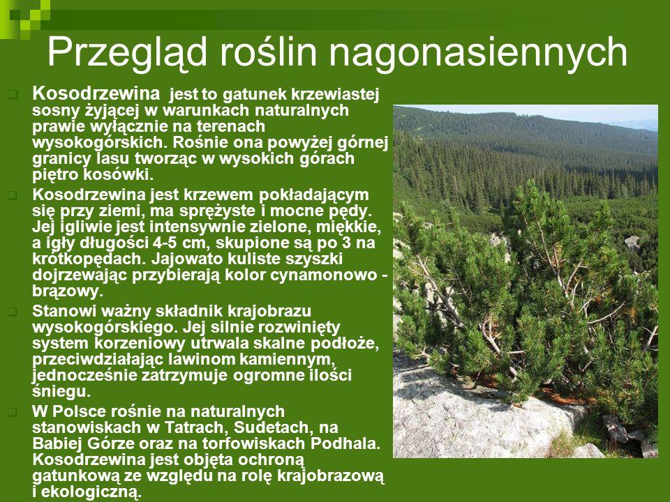  Kosodrzewina jest to gatunek krzewiastej sosny żyjącej w warunkach naturalnych prawie wyłącznie na terenach wysokogórskich. Rośnie ona powyżej górne