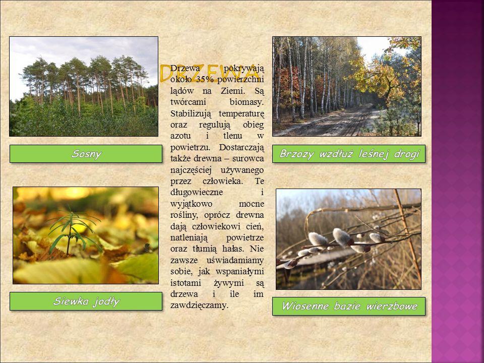 Drzewa pokrywają około 35% powierzchni lądów na Ziemi. Są twórcami biomasy. Stabilizują temperaturę oraz regulują obieg azotu i tlenu w powietrzu. Dos