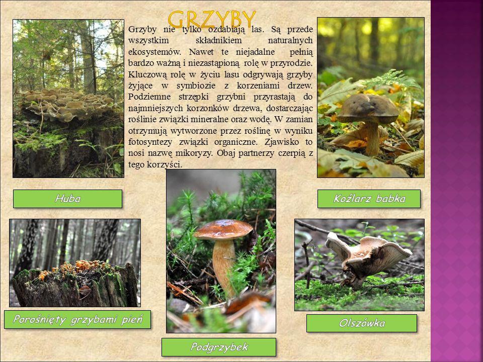 Grzyby nie tylko ozdabiają las.Są przede wszystkim składnikiem naturalnych ekosystemów.