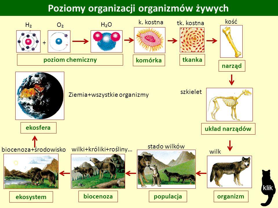 Poziomy organizacji organizmów żywych poziom chemiczny H₂O O₂O₂ + H₂H₂ komórka k.