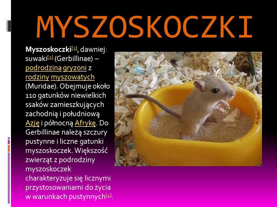 MYSZOSKOCZKI Myszoskoczki [3], dawniej: suwaki [2] (Gerbillinae) – podrodzina gryzoni z rodziny myszowatych (Muridae). Obejmuje około 110 gatunków nie