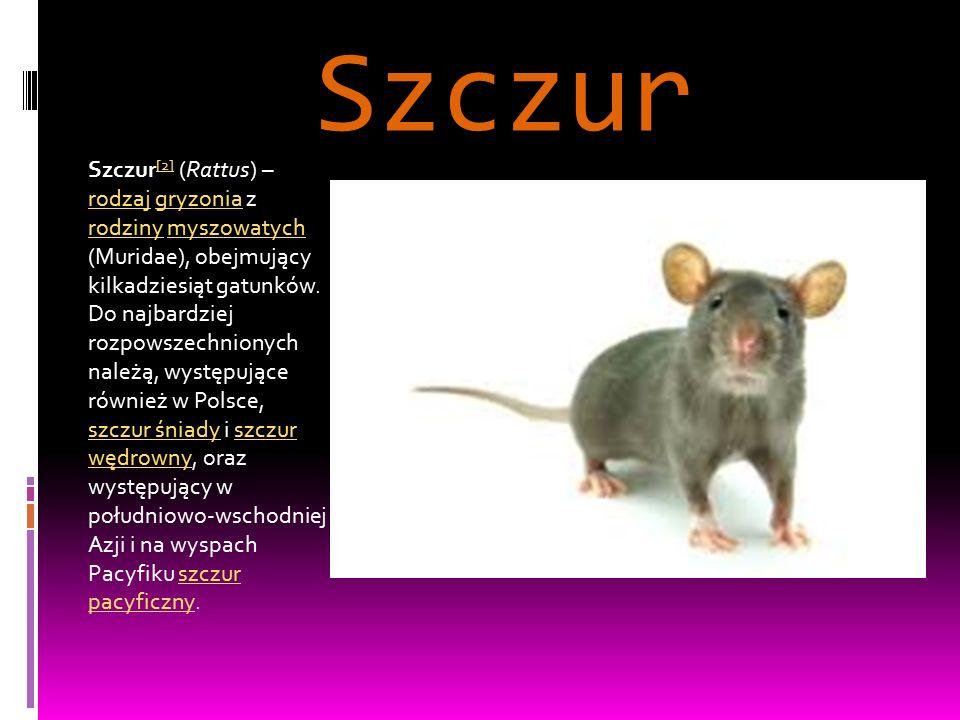 Szczur Szczur [2] (Rattus) – rodzaj gryzonia z rodziny myszowatych (Muridae), obejmujący kilkadziesiąt gatunków. Do najbardziej rozpowszechnionych nal