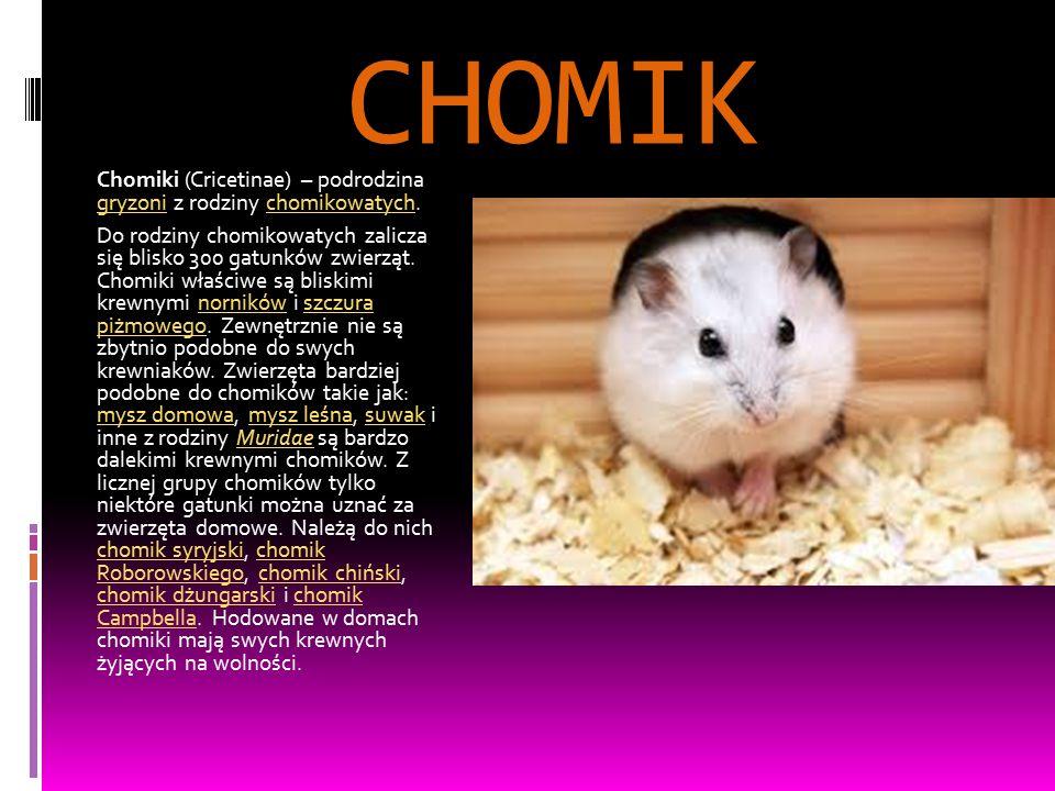 CHOMIK Chomiki (Cricetinae) – podrodzina gryzoni z rodziny chomikowatych. gryzonichomikowatych Do rodziny chomikowatych zalicza się blisko 300 gatunkó