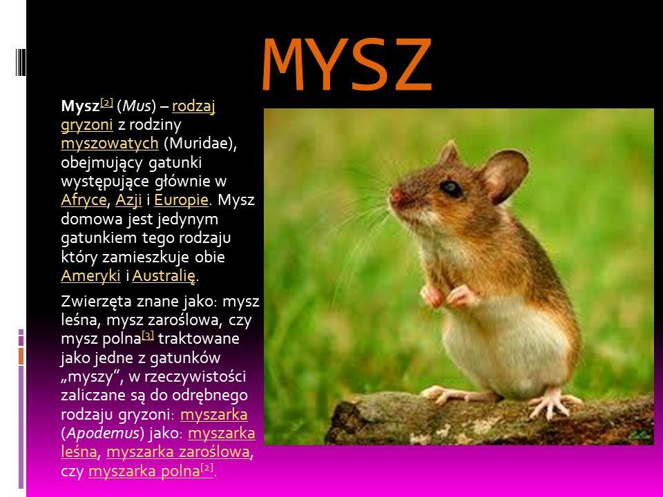 MYSZ Mysz [2] (Mus) – rodzaj gryzoni z rodziny myszowatych (Muridae), obejmujący gatunki występujące głównie w Afryce, Azji i Europie. Mysz domowa jes