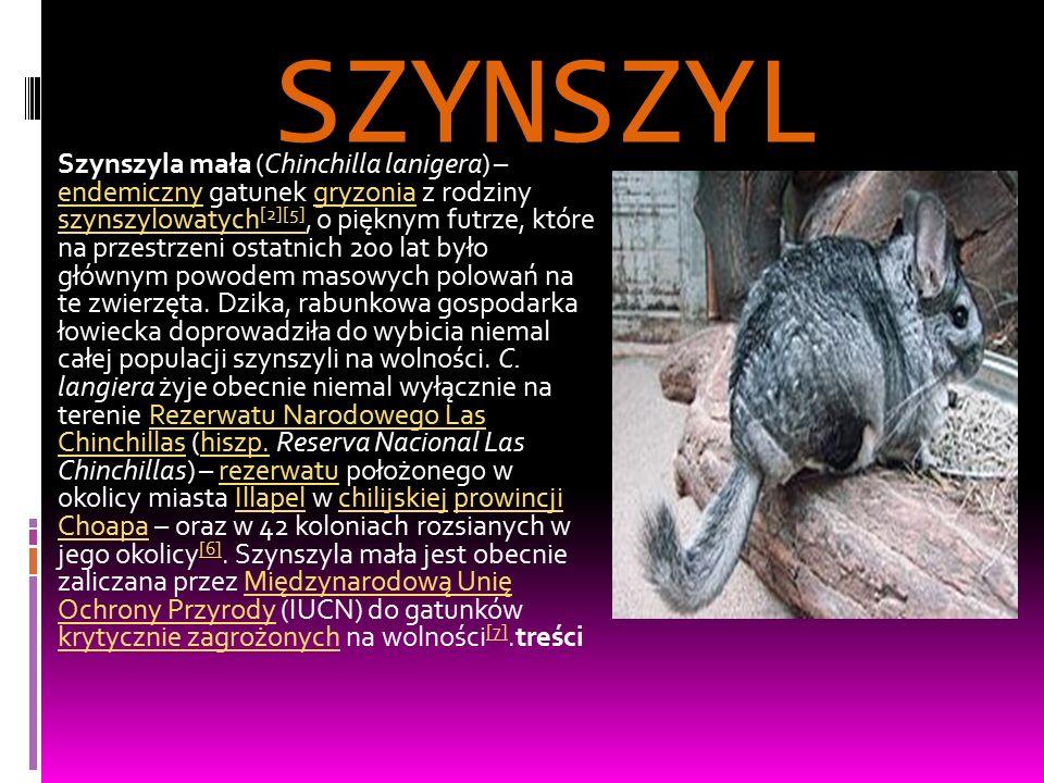 SZYNSZYL Szynszyla mała (Chinchilla lanigera) – endemiczny gatunek gryzonia z rodziny szynszylowatych [2][5], o pięknym futrze, które na przestrzeni ostatnich 200 lat było głównym powodem masowych polowań na te zwierzęta.