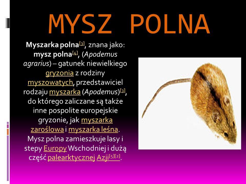 MYSZ POLNA Myszarka polna [3], znana jako: mysz polna [4], (Apodemus agrarius) – gatunek niewielkiego gryzonia z rodziny myszowatych, przedstawiciel rodzaju myszarka (Apodemus) [3], do którego zaliczane są także inne pospolite europejskie gryzonie, jak myszarka zaroślowa i myszarka leśna.