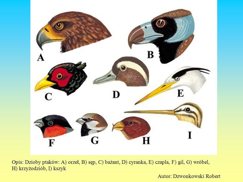 Opis: Dzioby ptaków: A) orzeł, B) sęp, C) bażant, D) cyranka, E) czapla, F) gil, G) wróbel, H) krzyżodziób, I) kszyk Autor: Dzwonkowski Robert