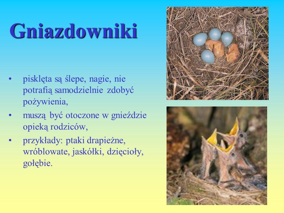 Gniazdowniki pisklęta są ślepe, nagie, nie potrafią samodzielnie zdobyć pożywienia, muszą być otoczone w gnieździe opieką rodziców, przykłady: ptaki drapieżne, wróblowate, jaskółki, dzięcioły, gołębie.