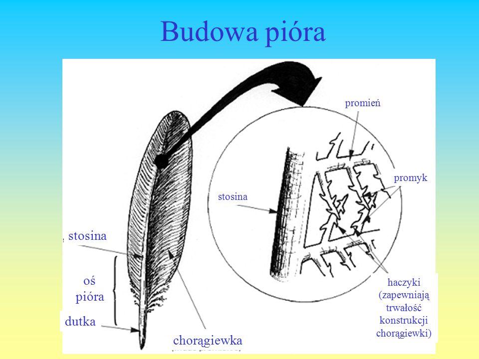 Budowa pióra stosina dutka oś pióra chorągiewka stosina promień promyk haczyki (zapewniają trwałość konstrukcji chorągiewki)