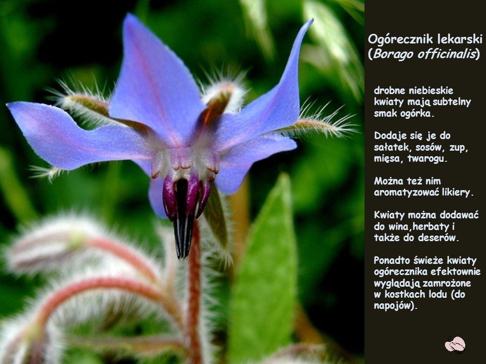 Ogórecznik (Borago officinalis L.)