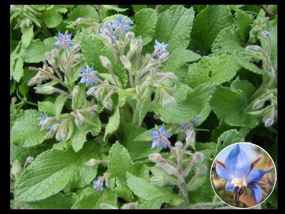 drobne niebieskie kwiaty mają subtelny smak ogórka.