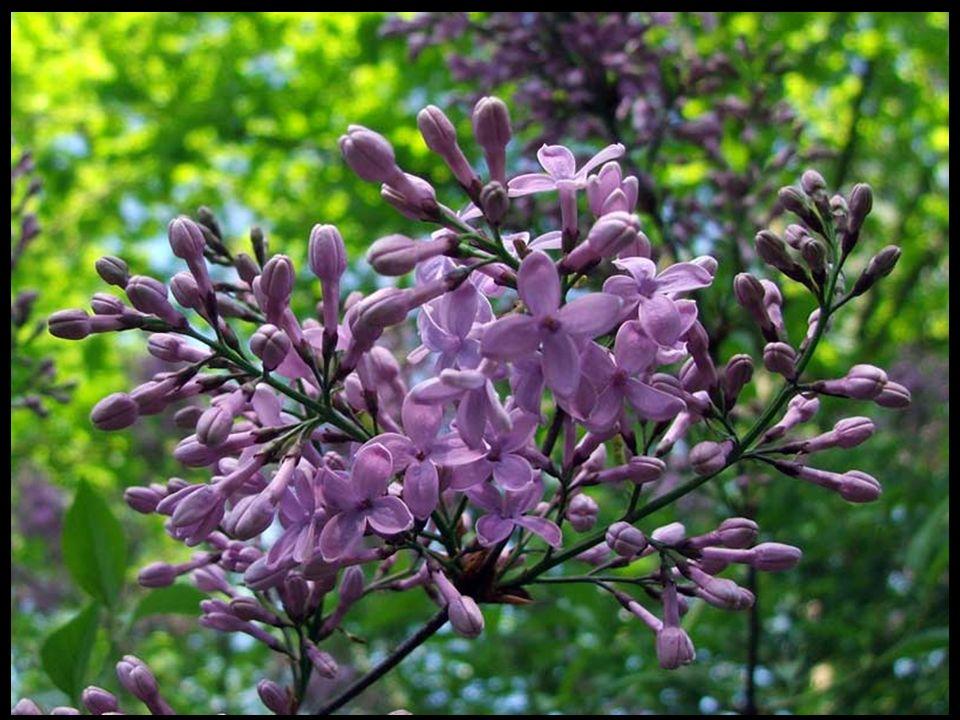 Bez lilak (Syringa vulgaris) kwiaty mają intensywny kwiatowy aromat i posmak cytryny.