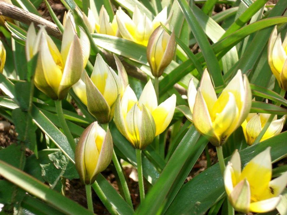 Tulipany wielokolorowe kwiaty tulipanów ogrodowych Tulipa gesneriana L.