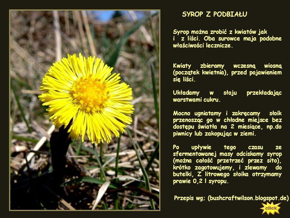 PODBIAŁ POSPOLITY Tussilago farfara Możemy go spotkać na nasypach, wilgotnych polach i glebach gliniastych. Kwitnie w marcu, a dopiero później wypuszc