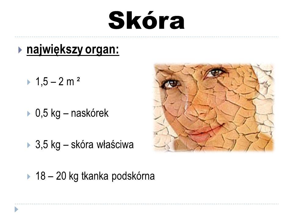 Skóra  grubość skóry:  najcieńsza – 0,5 mm  najgrubsza – 4 mm  zmiana grubości : naskórek i tkanka podskórna