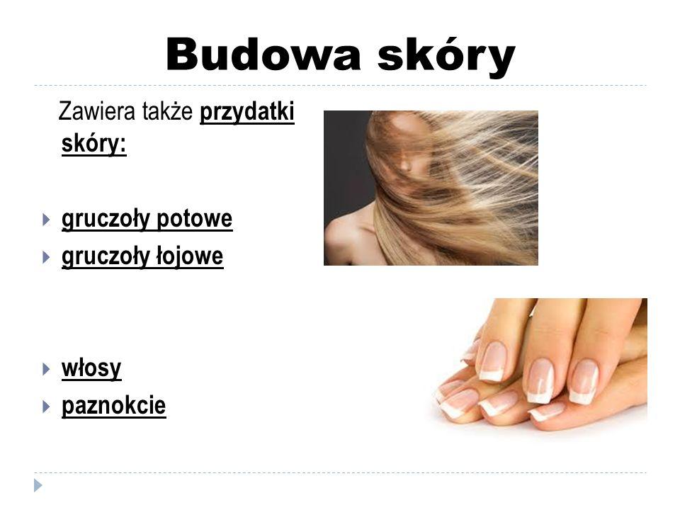 Budowa skóry Zawiera także przydatki skóry:  gruczoły potowe  gruczoły łojowe  włosy  paznokcie