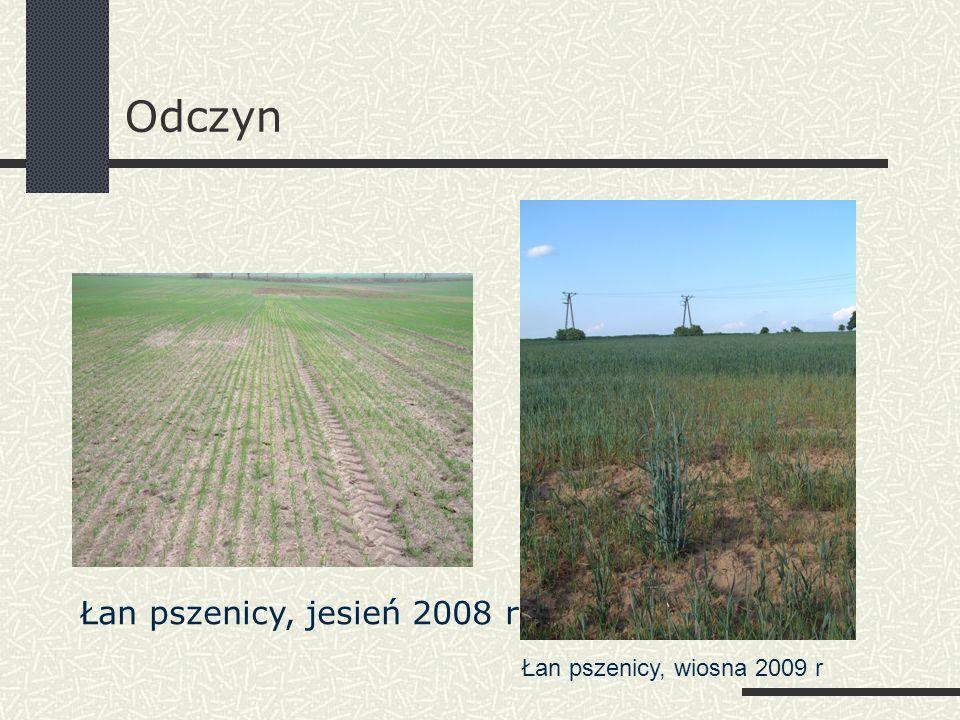 Odczyn Łan pszenicy, wiosna 2009 r Łan pszenicy, jesień 2008 r
